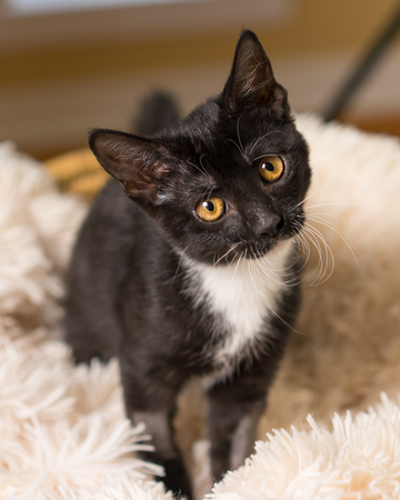 Young black and white domestic short medium hair kitten cat feline with yellow eyes making eye contact sitting on soft blanket looking curious alert focused with head tilted