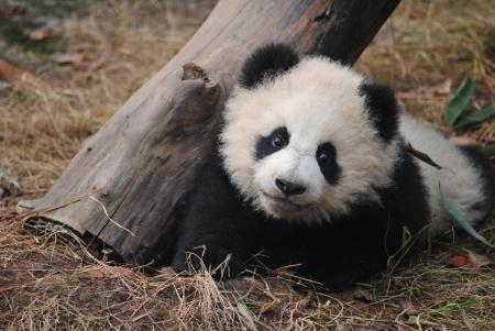 asien: Panda Baby