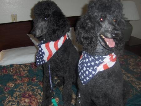 Affie and Neffie two Standard poodles I owned both now deceased Stok Fotoğraf