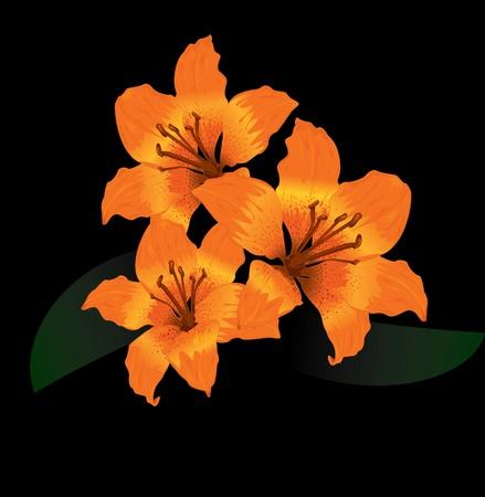 Orange tiger lily on black background  Vector
