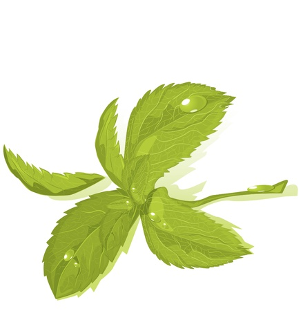 Fresh green mint leaves Vector