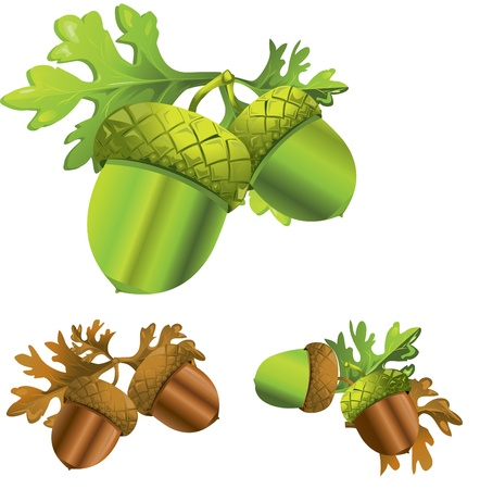 oak leaves: acorn Illustration