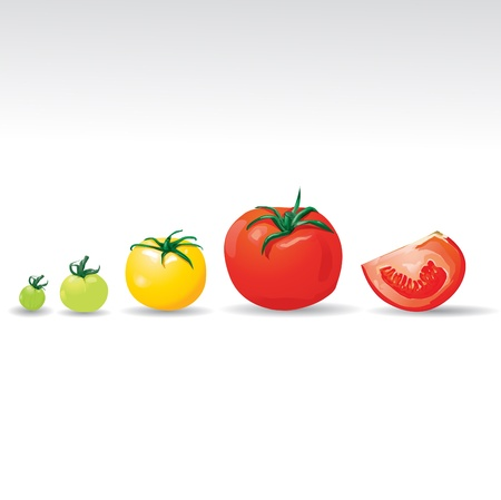 fruitful: Growing tomatoes vector