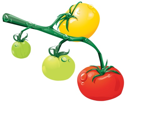 immature: Growing tomatoes