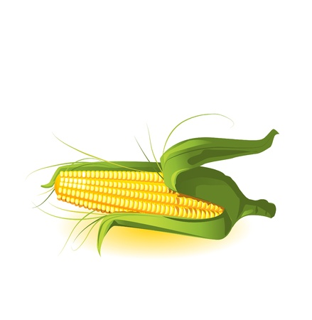 maize: corncob in leaves vector illustration