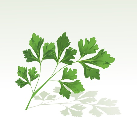 Parsley branch Stock Vector - 10999819