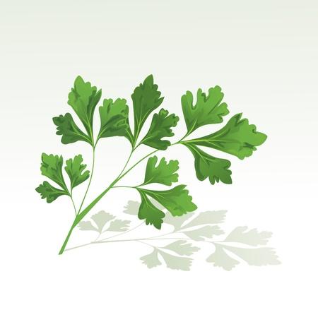 coriandrum sativum: Perejil rama