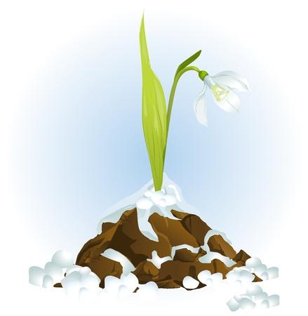 snow drops: snowdrop growing vector  Illustration