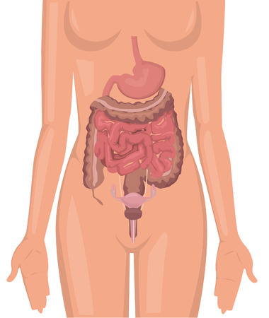 Women body digestive system illustration Stock Vector - 24328468