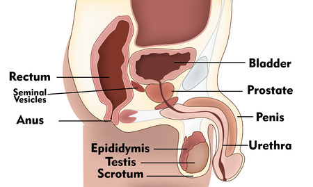ejaculate: Male Reproduction System Illustration