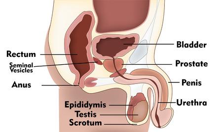 apparato riproduttore: Sistema di riproduzione maschile