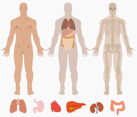 男の背景の人体解剖学