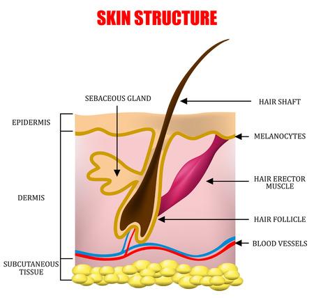 皮膚の構造  イラスト・ベクター素材
