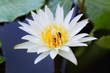 White lotus blossom thailand
