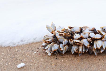 Goose barnacles or gooseneck barnacles on lumber.