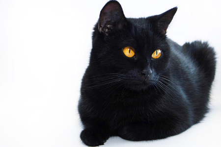Black cat. Very beautiful cat. Isolated black cat background.