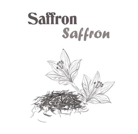 Safran würzen. Sketch-Stil Vektor-Illustration von Safran Standard-Bild - 68802094