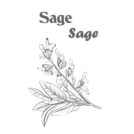 Sage herb spice. Sketch drawing of a sage.