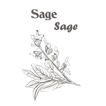 Sage herb spice. Sketch drawing of a sage.