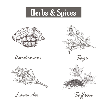 Herbs and spices. saffron, sage, lavender, cardamom. Set sketch style herbs and spices