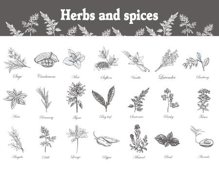 Hierbas y especias establecen. Dibujado a mano officinale plantas medicinales. flores silvestres de curación orgánica. ilustraciones botánicas. Grabado dibujos florales