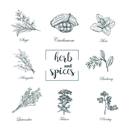 Collection of herbs and spices skech vector. Set herbs