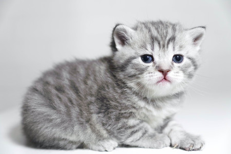 moggy: Portrait of a kitten is very beautiful. Cute purebred kitty show class Stock Photo