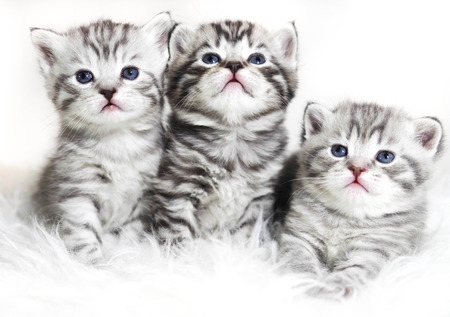 Cute Kittens On A White Background Beautiful Plush Kittens Babies Stock Photo Picture And Royalty Free Image Image 72954720