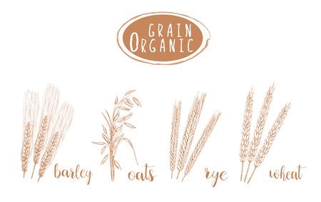 cultivate: Organic grain sketch illustration. Hand drawing wheat, barley, oats, rye ear set Illustration