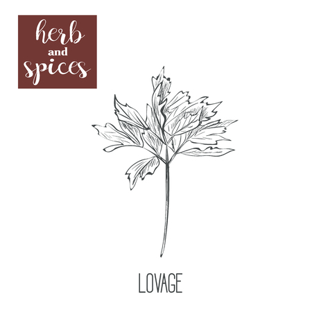lovage: A line illustration of lovage. Sketch cocktails vector art
