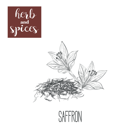 crocus: Saffron sketch herbs and spices vector illustration