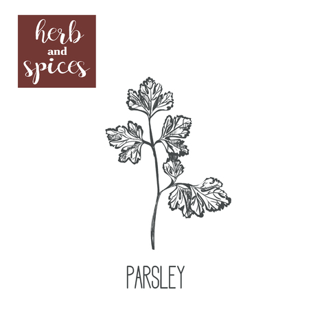 Parsley hand drawing. Herbs and spices. Vector illustration of sketch