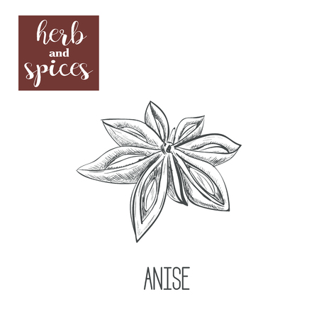 anise: Anise hand drawing. Herbs and spices. Vector illustration of sketch anise