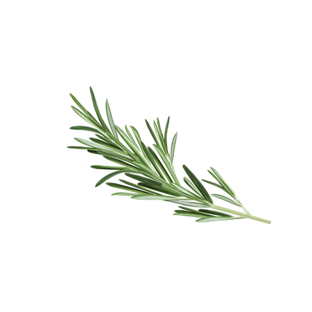 Rosemary herb Vector illustration Çizim