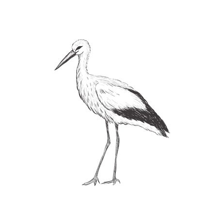 Stork sketch vector illustration. Hand sketching a stork for a design