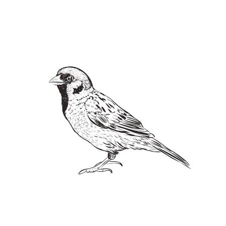 참새 스케치 그림입니다. 참새의 손 그리기 스케치 일러스트