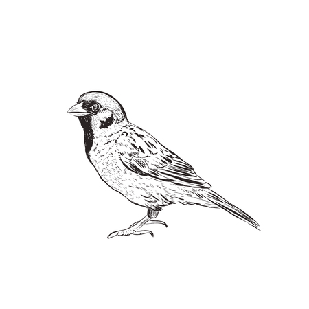 Sparrow sketch illustration. Hand drawing sketch of a sparrow Illustration