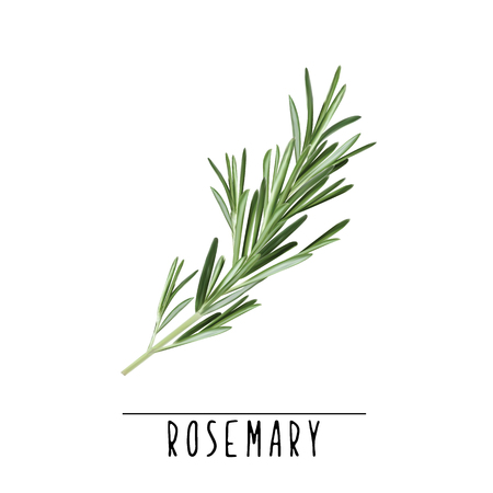 Illustrazione di vettore di erba e spezie rosmarino. Ramo di rosmarino