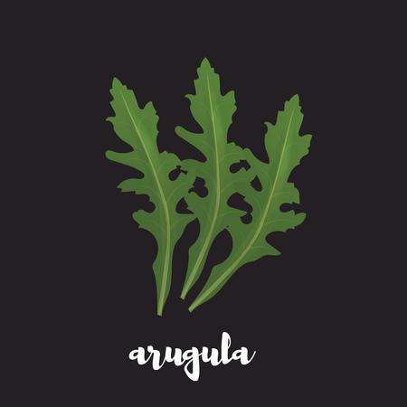 Arugula herb on black background. Vector illustration of arugula