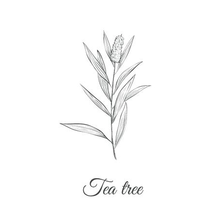 Tea tree sketch branch illustration.