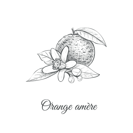 Orange amere Vector illustration. Bitter orange Hand drawing Citrus aurantium