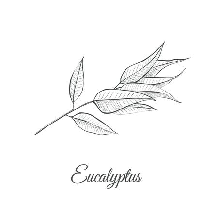 Eucalyptus (Eucalyptus Globulus) sketch vector illustration. Eucalyptus design hand drawing
