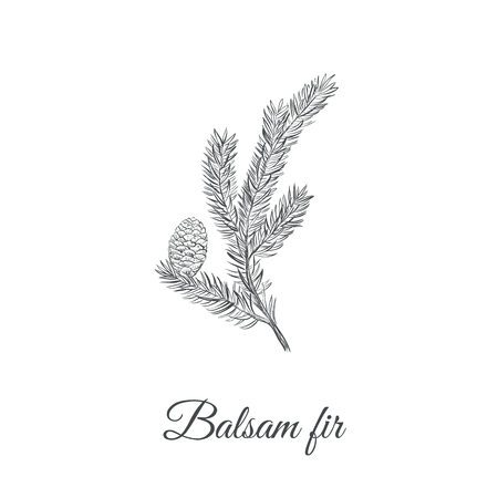 christmas tree illustration: Balsamic fir sketch hand drawing.