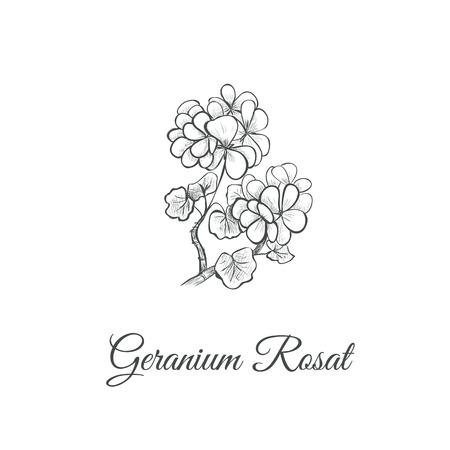 Geranium Rosat (Pelargonium graveolens) Sketch hand drawing. Geranium vector illustration