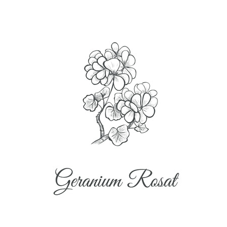 Geranium Rosat (Pelargonium graveolens) Sketch hand drawing. Geranium vector illustration