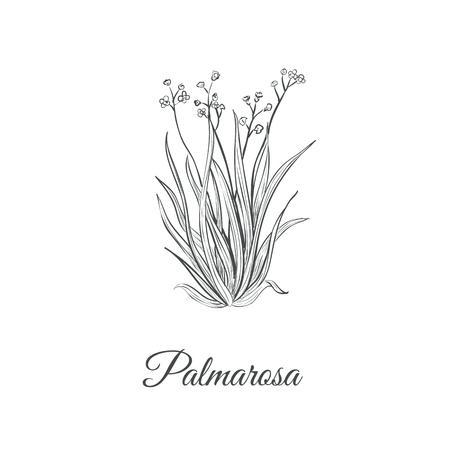 Palmarosa sketch hand drawing. Palmarosa vector illustration
