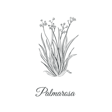 Palmarosa sketch hand drawing. Palmarosa vector illustration