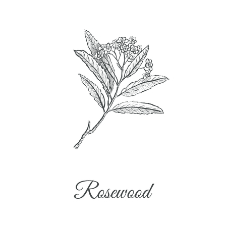 Rosewood skech hand drawing. Branch of a rosewood vector illustration (Aniba rosaeodora). Pink tree