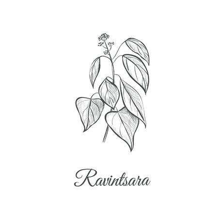 Ravintsara sketch hand drawing. Ravintsara vector illustration Ravensara aromatica