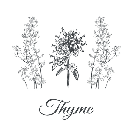 Thyme set. Collection of thyme vector illustration. Thyme sketch
